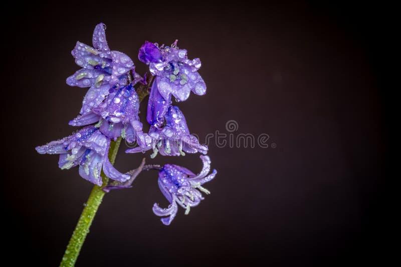 Aproximação de orelhas cobertas de bluebells fotografia de stock