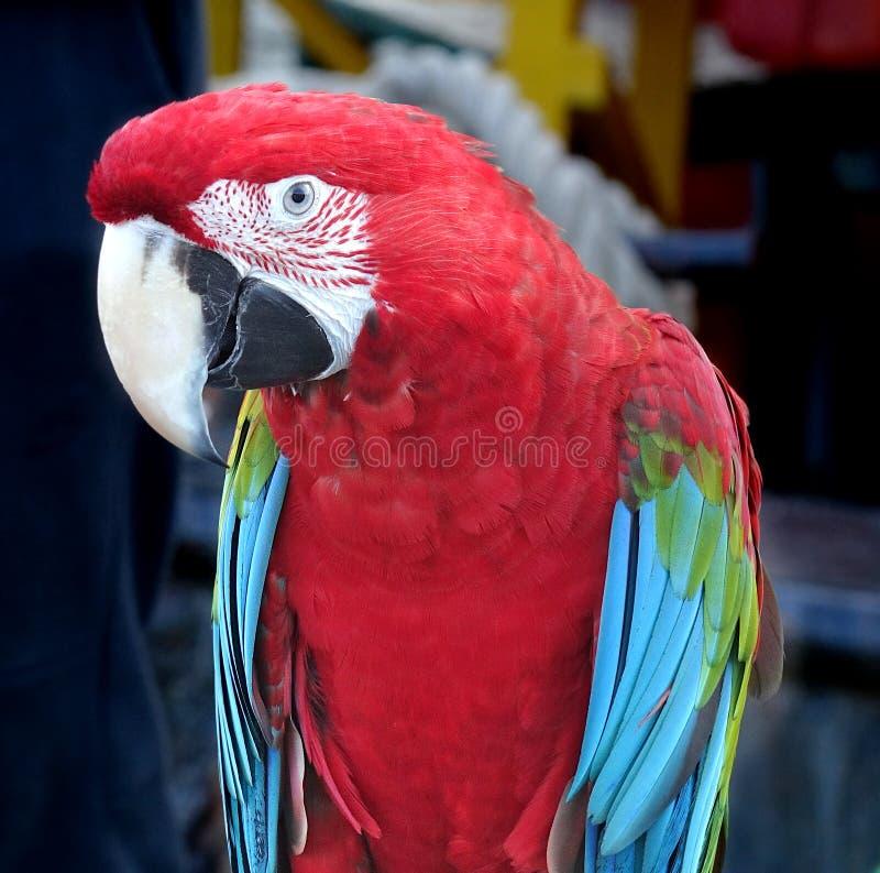 Aproximação do papagaio-de-escarlet Macaw imagem de stock royalty free