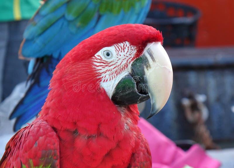 Aproximação do papagaio-de-escarlet Macaw fotografia de stock royalty free