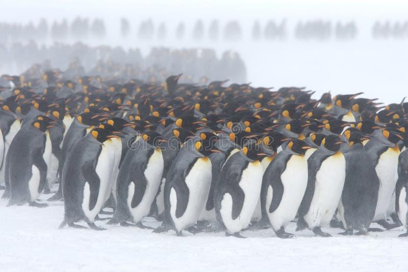 Aproximação do pinguim de rei fotografia de stock royalty free