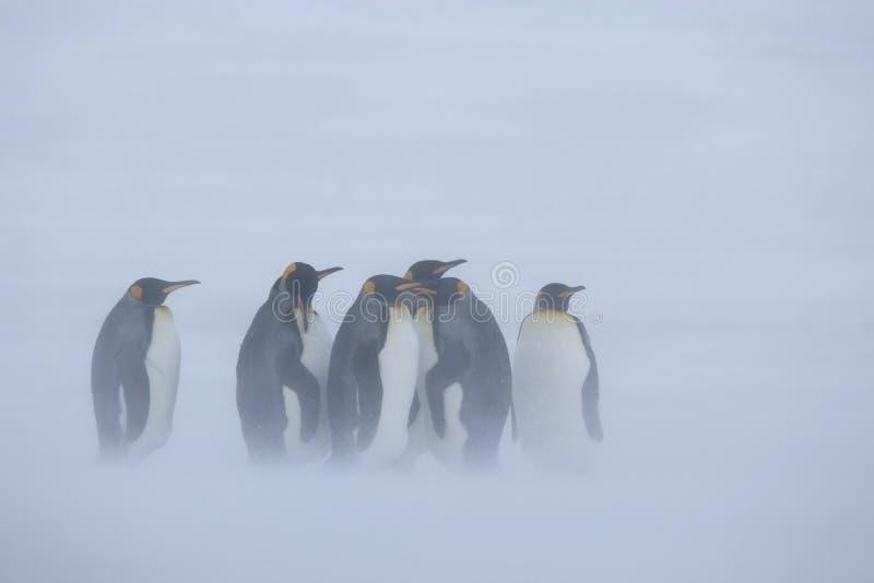 Aproximação do pinguim de rei imagem de stock
