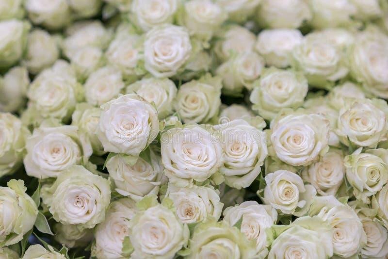 aproximação isolada de um enorme buquê de rosas brancas Muitas rosas brancas como fundo floral fotos de stock