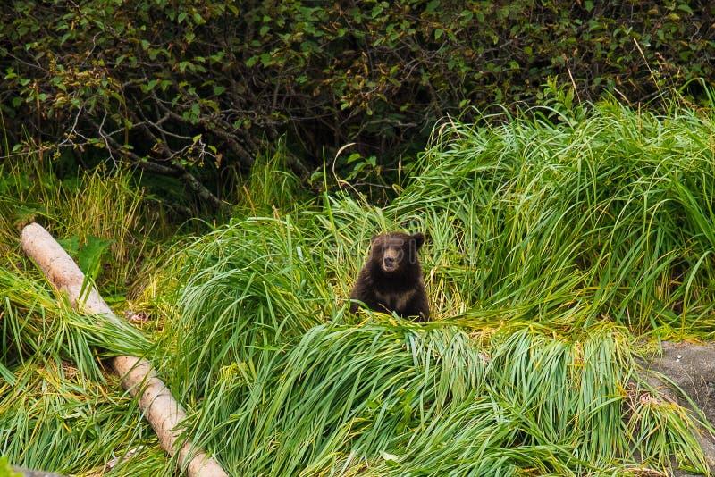 Aproximadamente uma metade de uns anos de idade Grizzlycub pequeno, Alaska fotos de stock