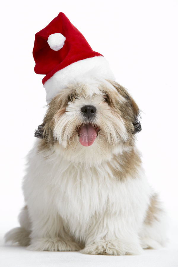 apso狗帽子拉萨圣诞老人佩带 免版税库存图片