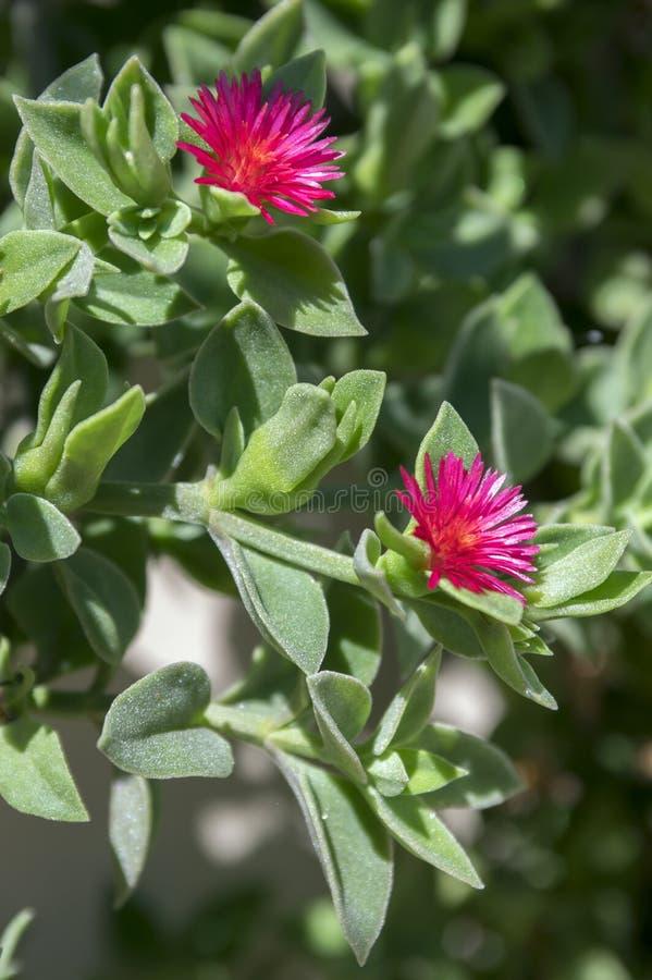 Aptenia cordifolia puple pink flowering creeping plant, ornamental flowers in bloom. Green fat leaves stock image