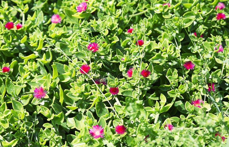 Aptenia kwiat, wiecznozielony sukulent, mesembrianthemum zdjęcie stock