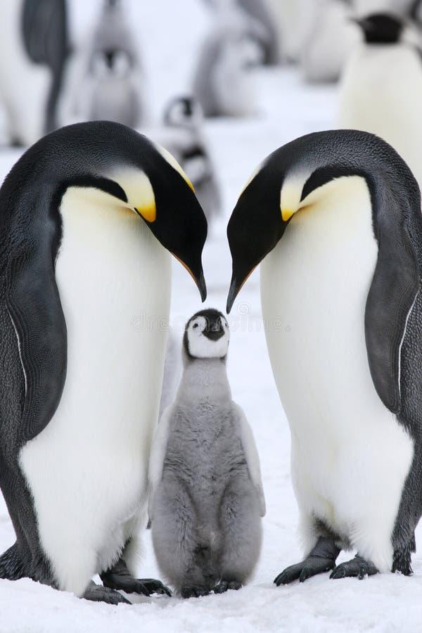 aptenodytes皇帝forsteri企鹅 库存照片
