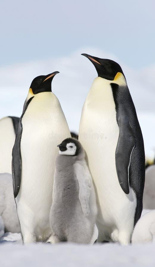 aptenodytes皇帝forsteri企鹅 库存图片