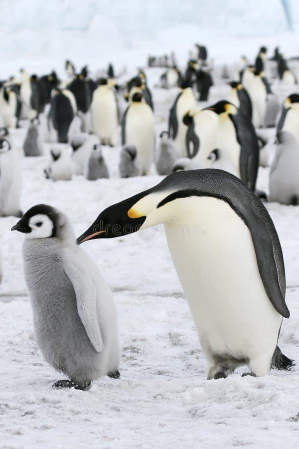 aptenodytes cesarza forsteri pingwiny obraz royalty free