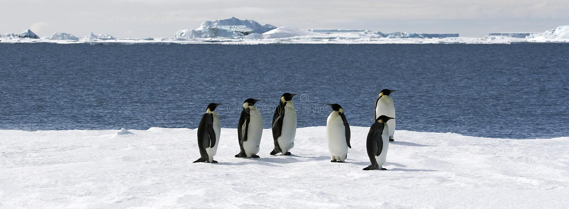 aptenodytes cesarza forsteri pingwiny zdjęcie royalty free