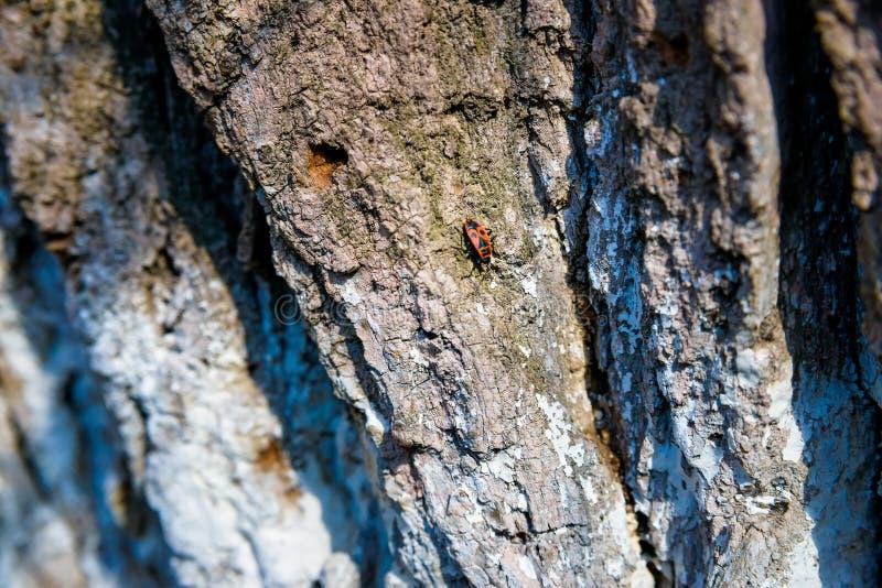 Apterus del Firebug o de Pyrrhocoris en corteza vieja fotos de archivo