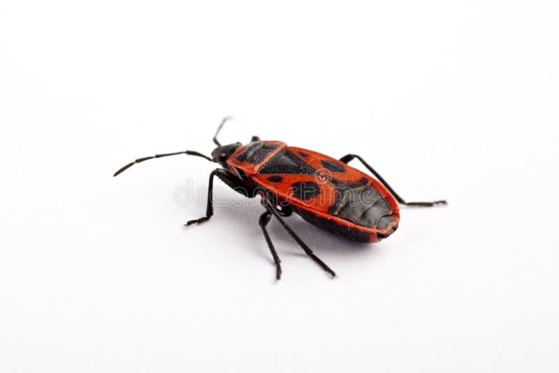 apterus firebug pyrrhocoris fotografia stock