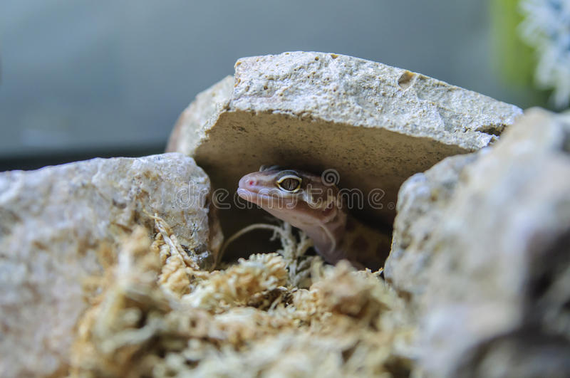 Aptor Hybrid Leopard Gecko stock photo