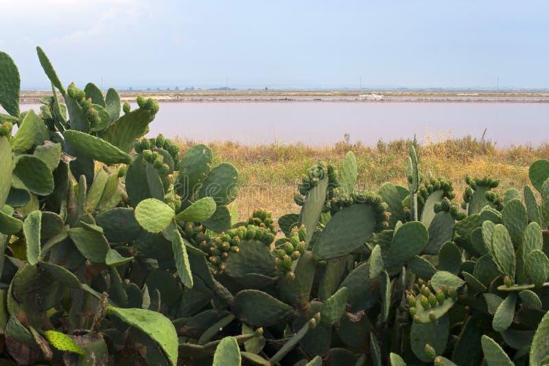 Apulia: Lagoa e cacto da evaporação de sal imagens de stock royalty free