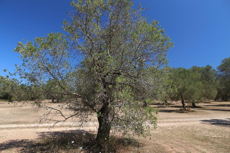 Apuliaolijfbomen stock afbeeldingen