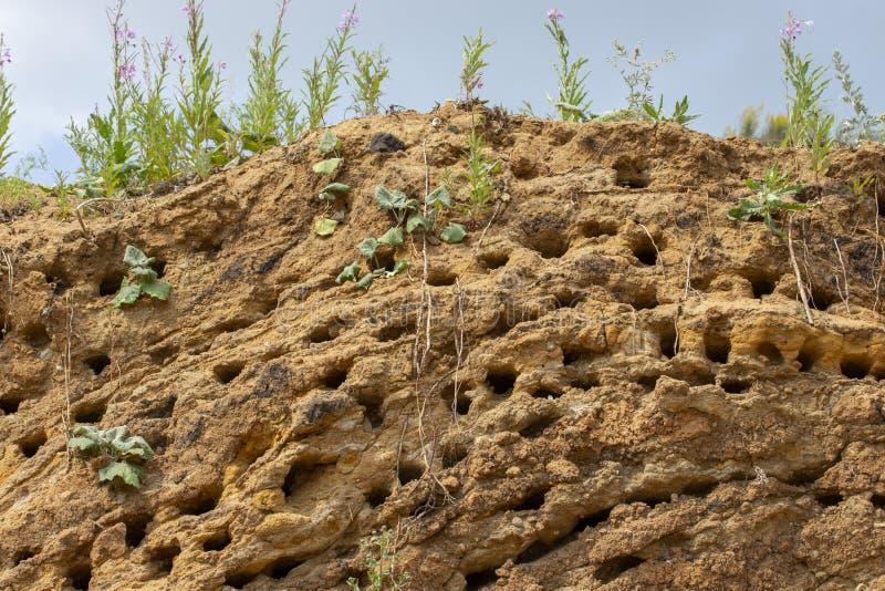 Apus jerzyka gniazdeczka Wiele wyderkowi gniazdeczka ptaki błyskawiczni na pionowo piaskowatym brzeg obraz stock