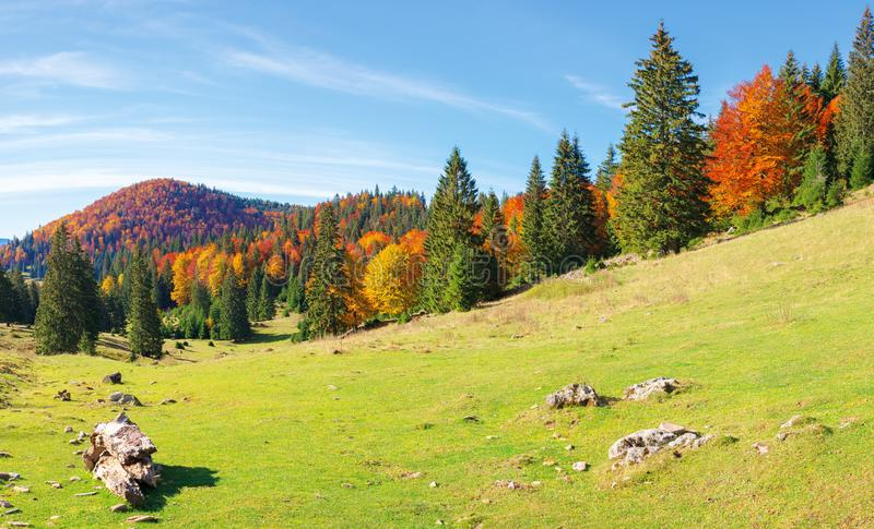Apuseni natural park in autumn. Amazing morning scenery of varasoaia meadow, bihor, romania. forest on the mountain in fall color. spruce trees in the valley royalty free stock image