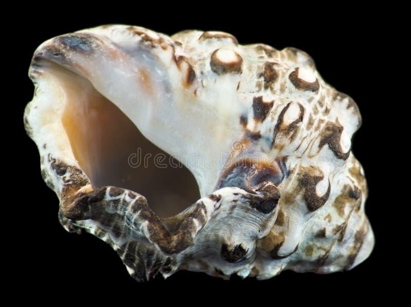 aqaba zatoki denna skorupa obraz royalty free