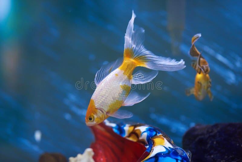 Aquário com peixes do ouro fotografia de stock royalty free