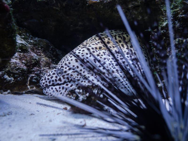 Aquário da enguia de Moray em Kiev Agulhas do diabrete de mar fotos de stock