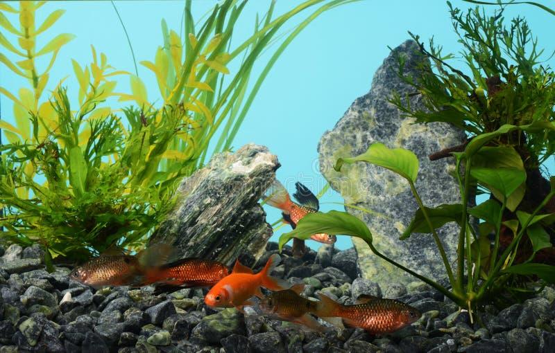 Aquário de água doce tropical imagem de stock