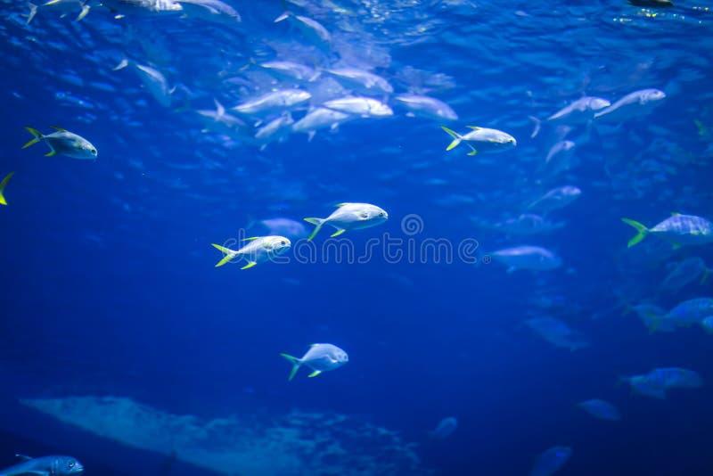 Aquário grande com água azul profunda e os peixes diferentes nela no aquário você pode olhar a vida selvagem sob a água fotos de stock