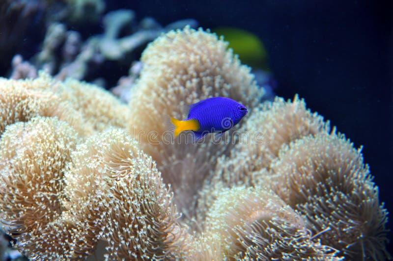 Aquário marinho com um peixe azul fotografia de stock