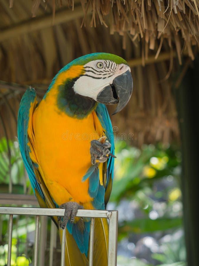 Aqua Blue en gele Papegaai royalty-vrije stock afbeeldingen