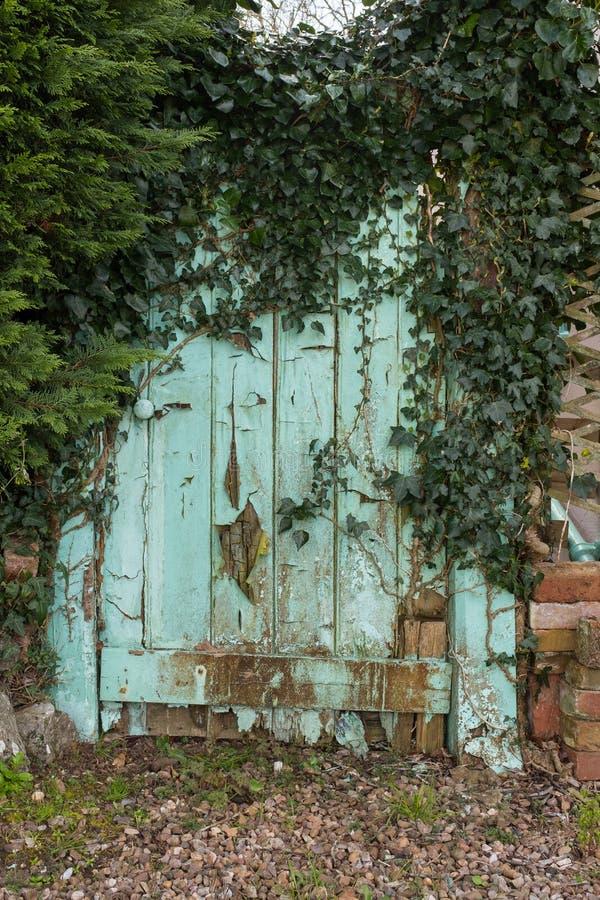 An aqua blue old garden gate that needs repair covered in ivy. An aqua blue old garden gate that needs repair covered in green ivy stock images