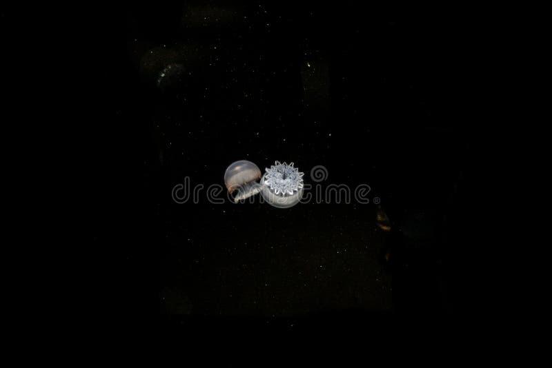 Aqua przyroda dwa jellyfish w ciemnej przestrzeni fotografia royalty free