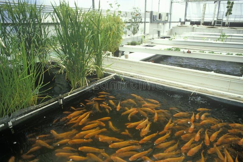 Aquaculture rybi uprawiać ziemię przy uniwersyteta arizona Środowiskowym laboratorium badawczym w Tucson, AZ fotografia royalty free