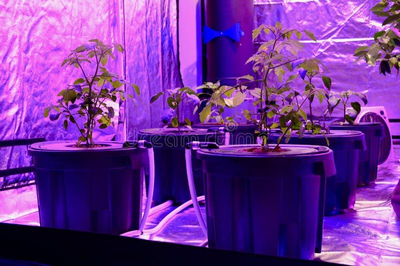 Aquaponics puso con las fitas lámparas que dan la luz roja extraña Crecimiento de algunas verduras en el substrato soilless, deta fotos de archivo libres de regalías