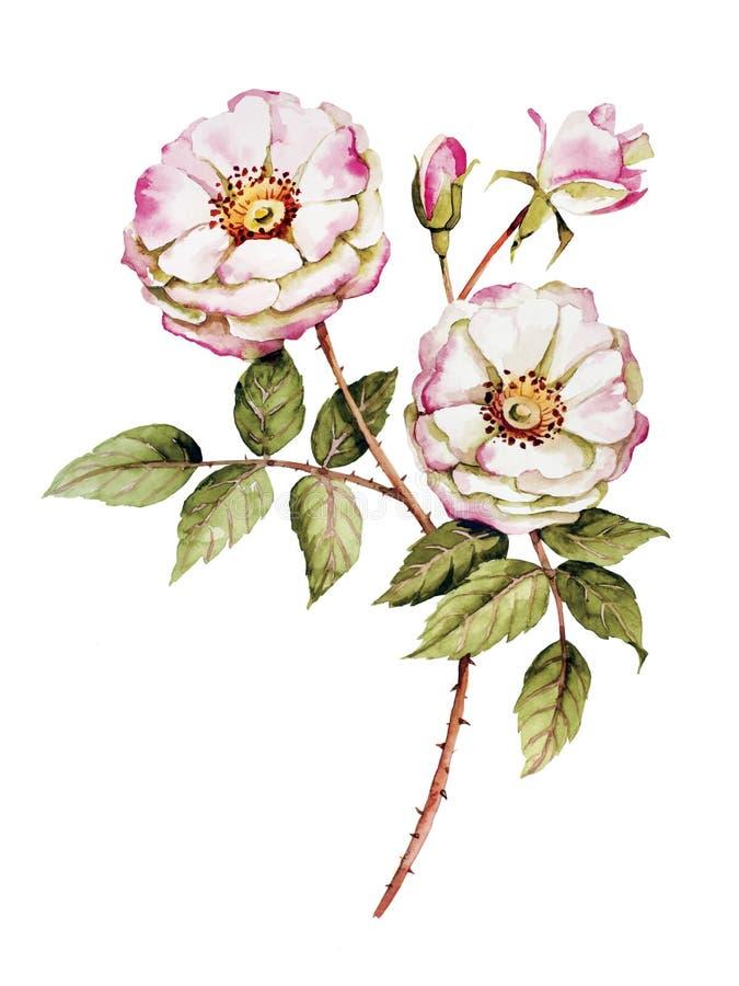 Aquarela botânica da flor das rosas ilustração royalty free