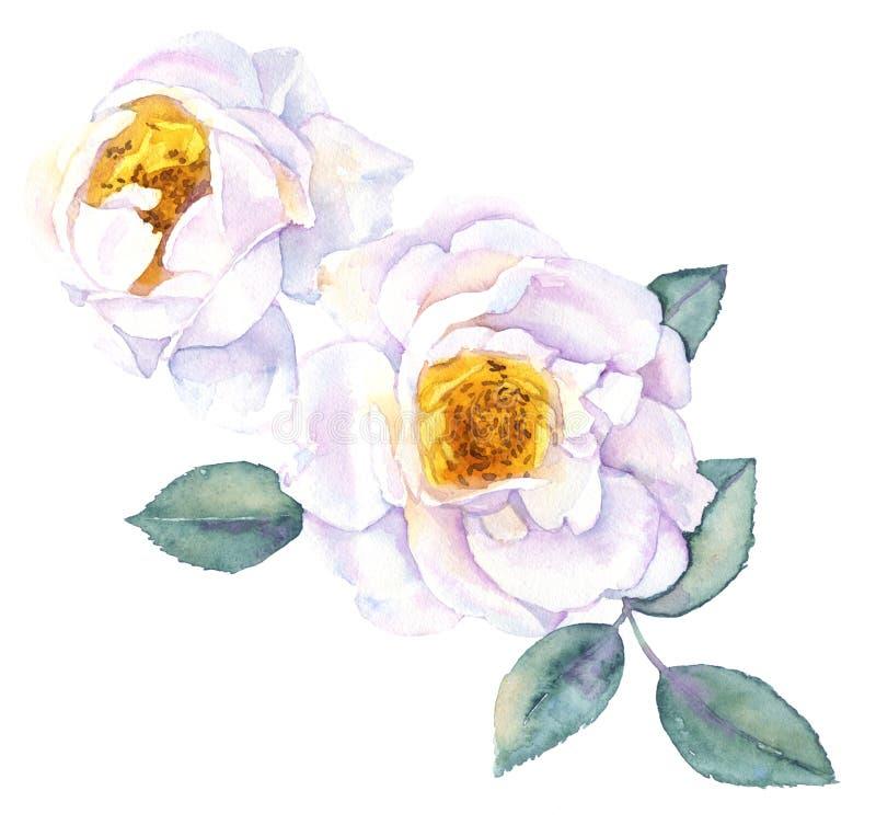 Aquarela da flor das rosas brancas ilustração do vetor