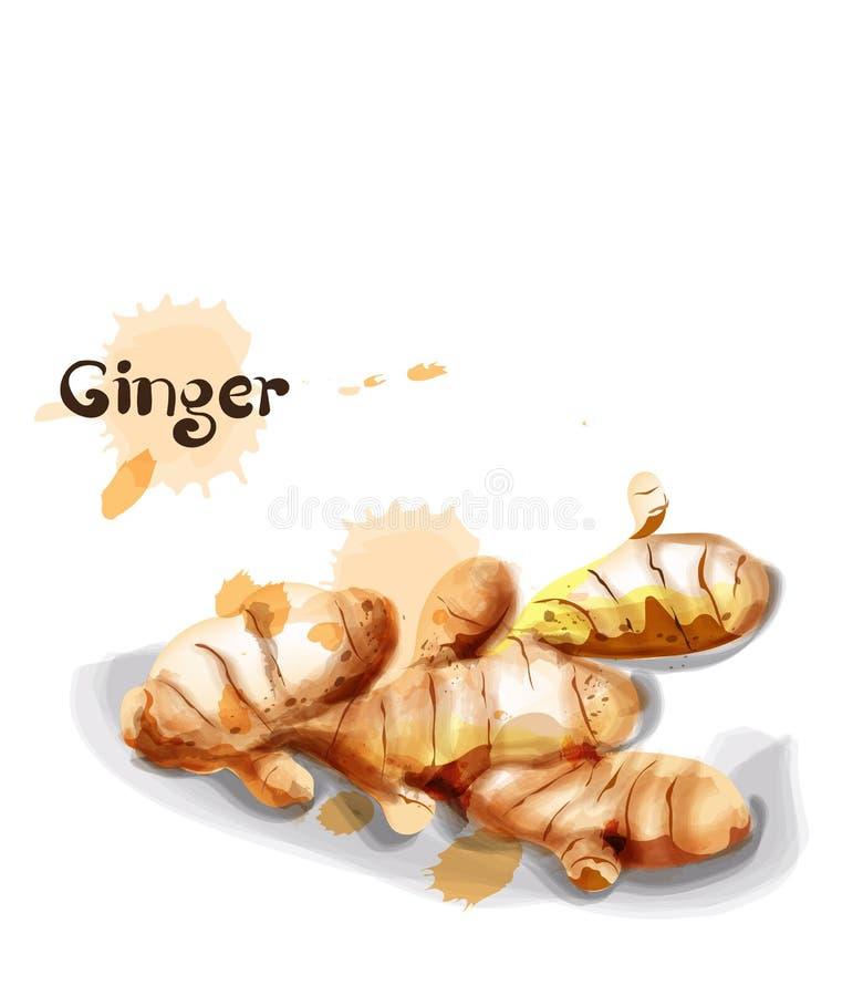 Aquarela de Ginger Vetora moldes vegetais do ?cone delicioso ilustração do vetor