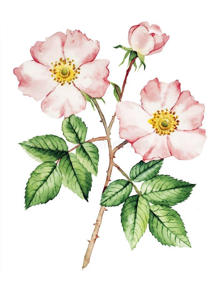 Aquarela de Rosa arbusto ilustração stock