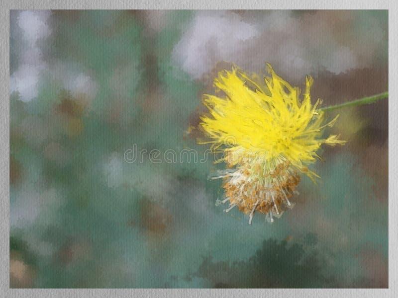 Aquarela do fundo amarelo da flor da mimosa ilustração royalty free