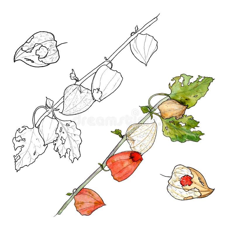 Aquarela e desenhos gráficos dos ramos do physalis ilustração stock