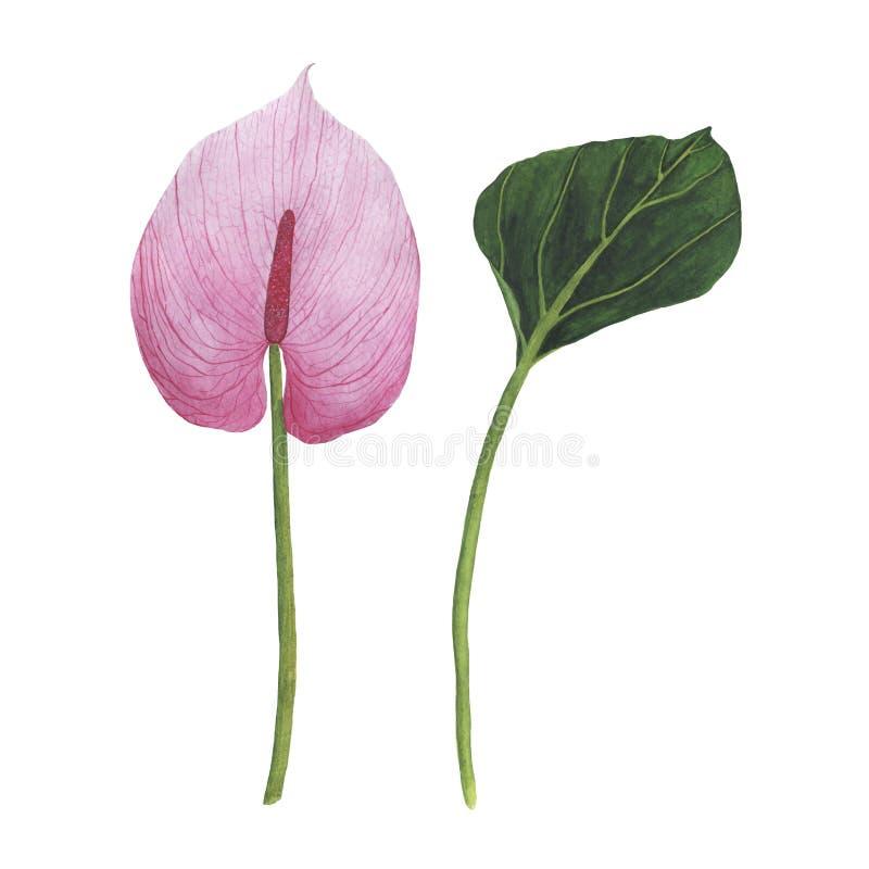 A aquarela tropical das flores ajustou o antúrio botânico da ilustração ilustração royalty free