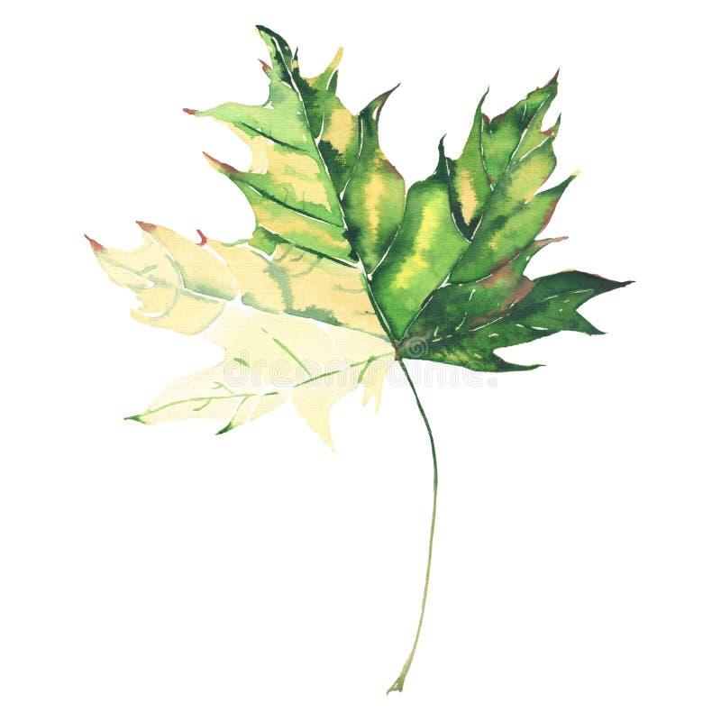 Aquarela verde e amarela do outono floral erval macio gráfico brilhante bonito da folha de bordo ilustração do vetor
