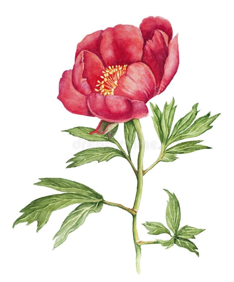 Aquarela vermelha da peônia ilustração stock