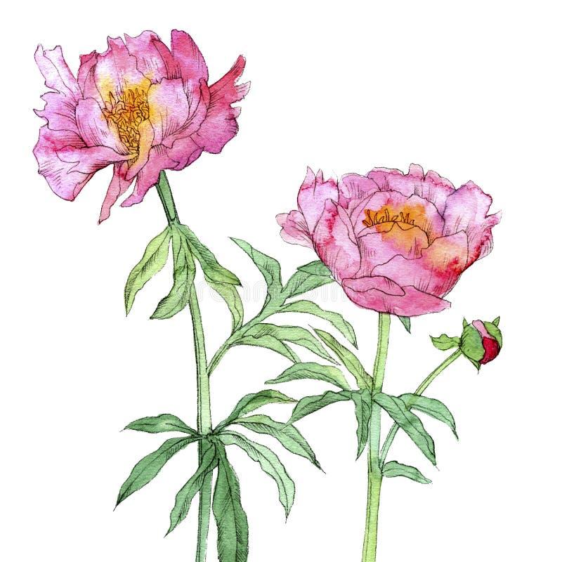 Aquarell, das rosa Pfingstrosenblumen zeichnet lizenzfreies stockbild