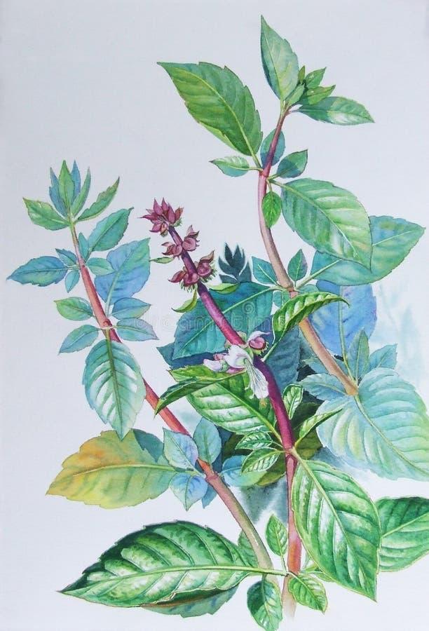 Aquarell, das ursprüngliches realistisches Kraut von Basilikum- und Grünblättern malt lizenzfreie abbildung