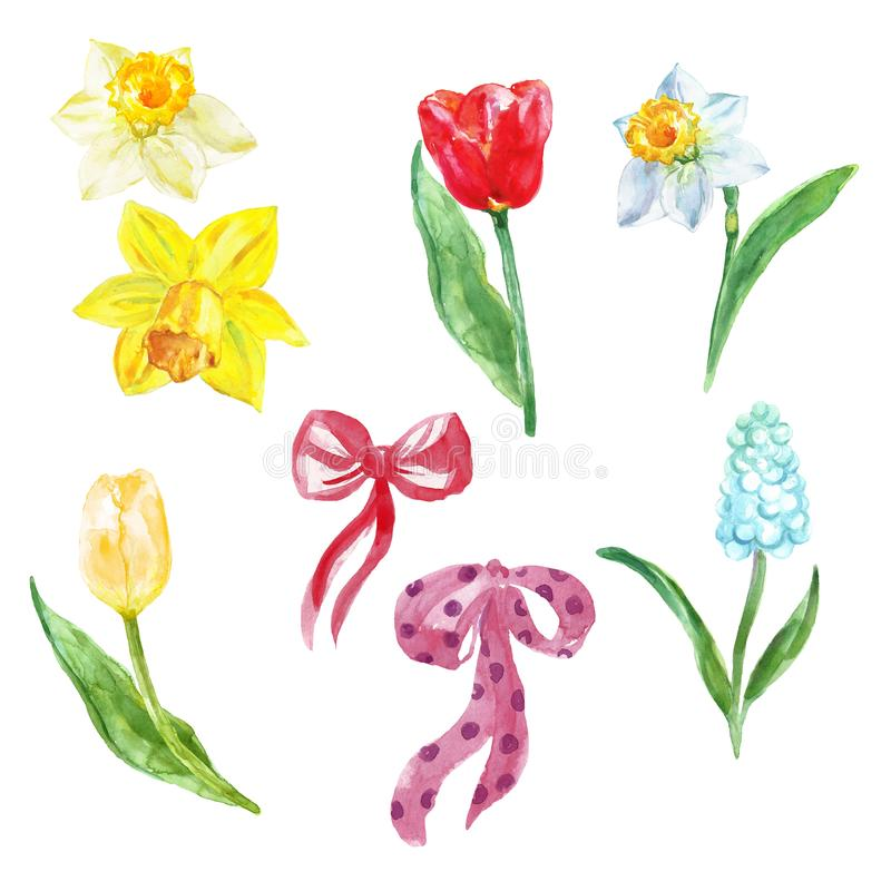 Aquarell-Fr?hlingsblumen eingestellt handgemalte Tulpen, natcissus und Muscari, lokalisiert auf weißem Hintergrund lizenzfreies stockbild