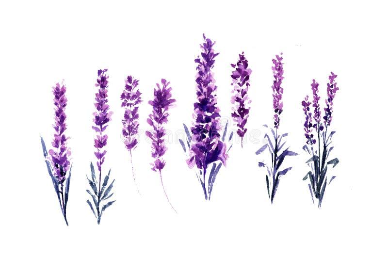 Aquarell-oder Aquarell-Malereien des Lavendels lizenzfreie abbildung