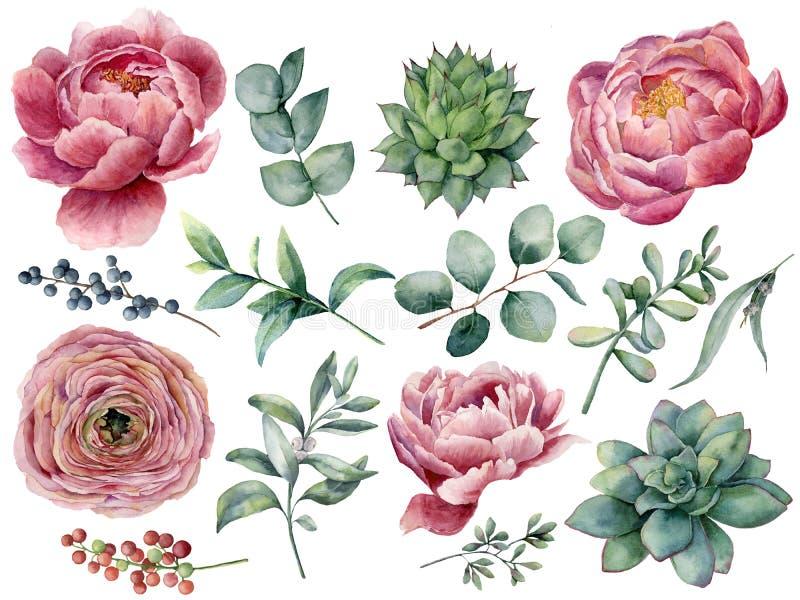 Aquarell Pfingstrosen-, Succulent- und Ranunculusblumensatz Handgemalte rote und blaue Beere, Eukalyptusblätter an lokalisiert lizenzfreie abbildung
