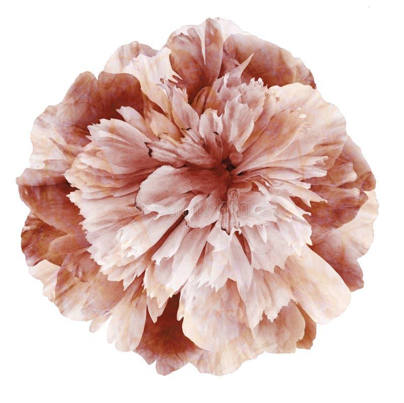 Aquarell-Pfingstrosenblume braun-rosa auf einem weißen lokalisierten Hintergrund mit Beschneidungspfad nave Nahaufnahme keine Sch stockfotos