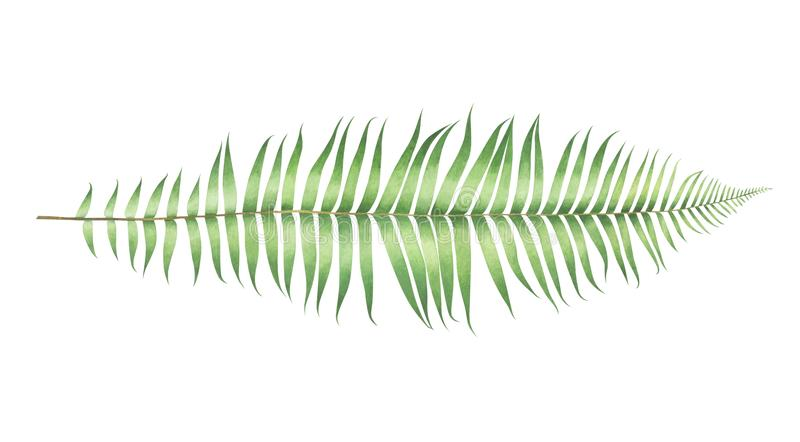 Aquarell Polystichum munitum Farn lokalisiert auf weißem Hintergrund lizenzfreie stockfotos