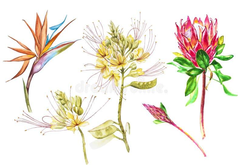 Aquarell Protea-, Caesalpinia- und Strelitziablumen eingestellt Botanische mit Blumenillustration der tropischen Dekoration water lizenzfreie abbildung