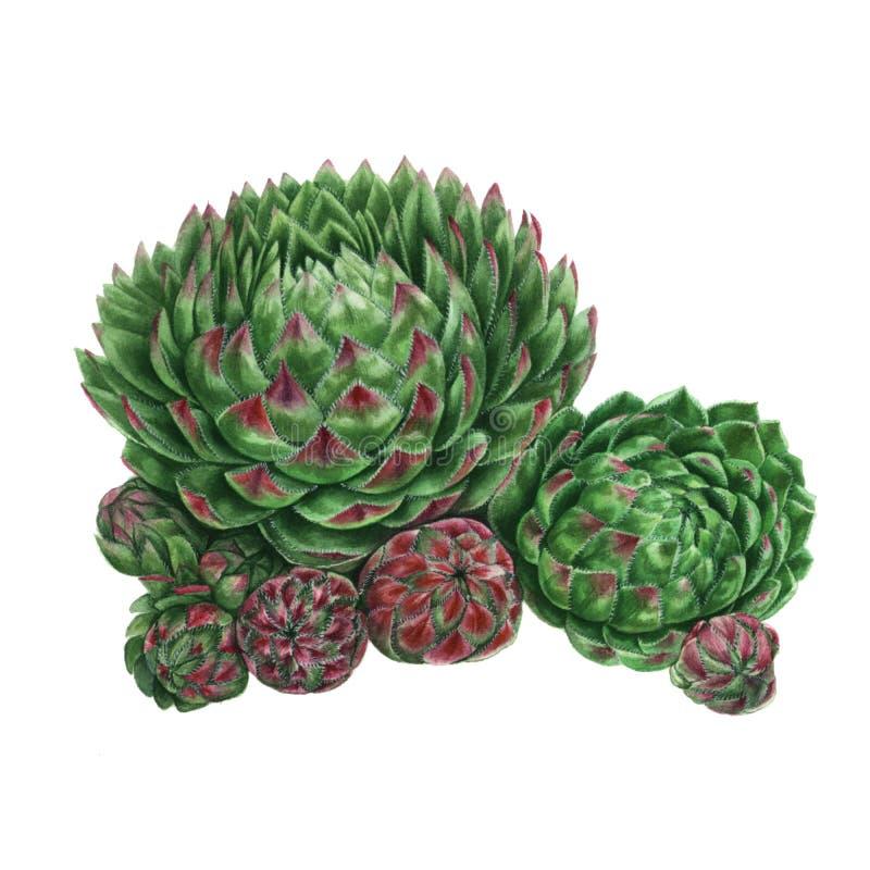 Aquarell-saftige Malerei Grünpflanze lokalisiert auf weißem Hintergrund, botanische Illustration Sempervivum stockbild